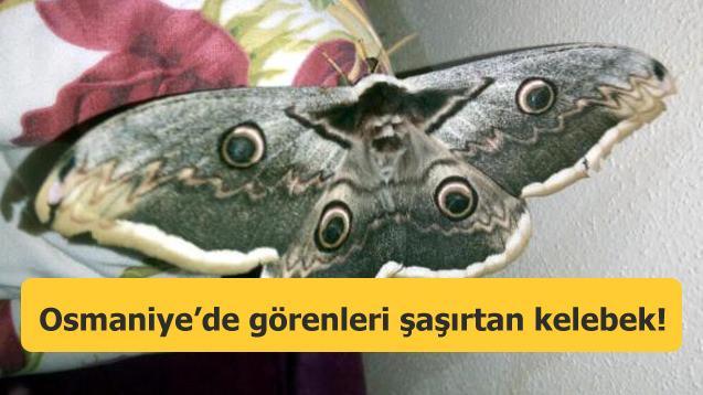 Kanat açıklığı 16 cm olan kelebek, görenleri hayran bıraktı