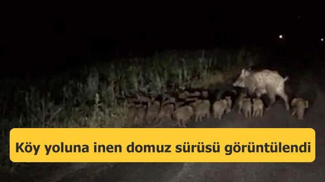 Köy yoluna inen domuz sürüsü görüntülendi