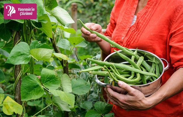 Taze fasulye nasıl yetiştirilir? Toprakta ve pamukta fasulye yetişmenin yolları