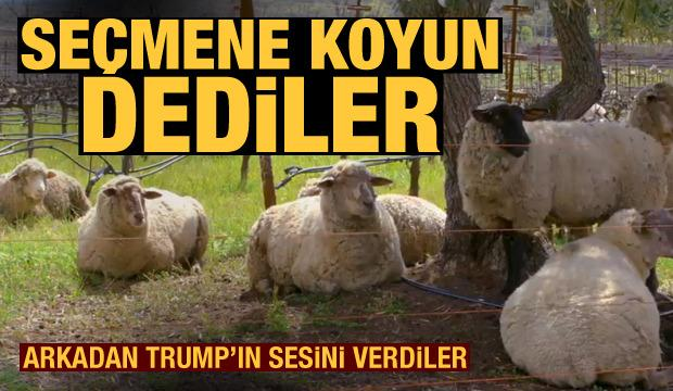 Trump seçmenine 'Koyun' dediler!