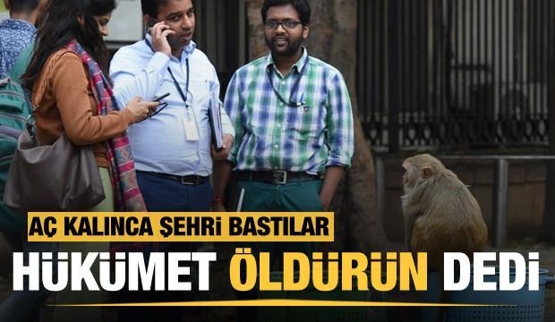 Hindistan'da maymunlar şehri istila etti! Hükümet öldürün emri verdi..