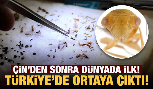 Bu böcek yıllar sonra ilk defa Türkiye'de görüldü