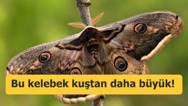 Bu kelebek kuştan daha büyük! Osmaniye'de görüldü