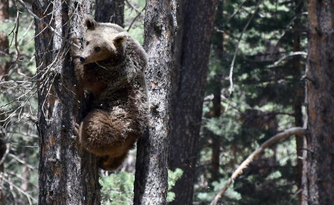 Kars'ta, bozayının ağacın tepesinde beslendiği anlar kamerada!