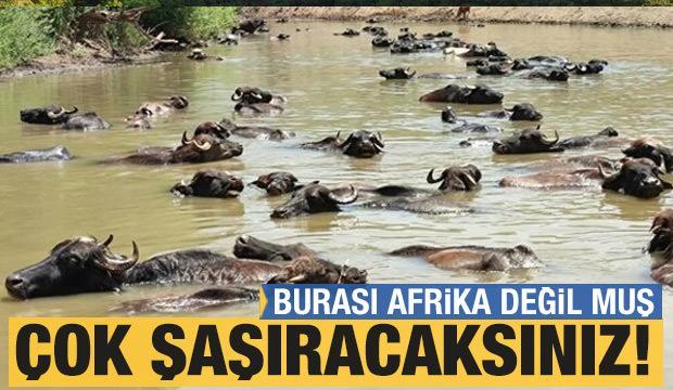 Burası Afrika değil Muş