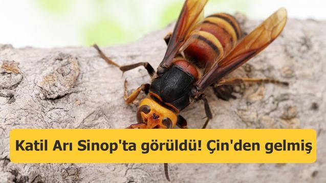 Katil Arı Sinop'ta görüldü! Çin'den gelmiş