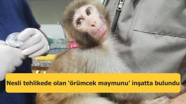 Nesli tehlikede olan 'örümcek maymunu' inşatta bulundu