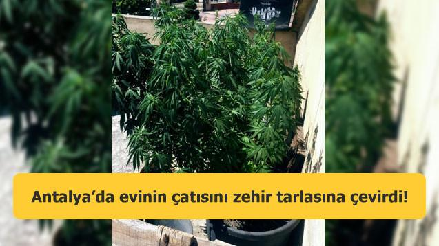 Antalya'da evinin çatısını zehir tarlasına çevirdi!