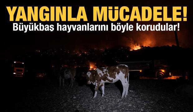 Büyükbaş hayvanlarını yangından böyle korudular!