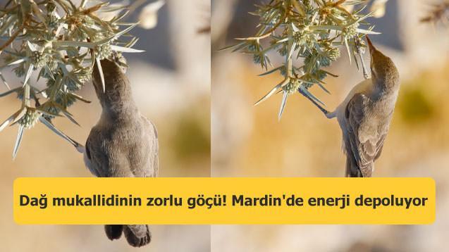 Dağ mukallidinin zorlu göçü! Mardin'de enerji depoluyor
