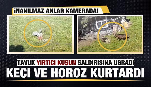 Tavuk yırtıcı kuşun saldırısına uğradı! Keçi ve horoz kurtardı!