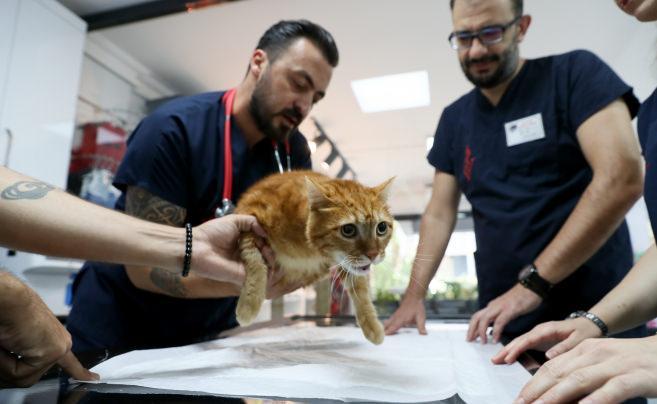 Kedi Pika, protezine özel yeni ayakkabılarıyla yürüyor
