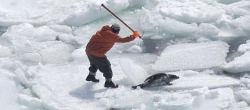 Kanada'da 70 bin fok balığı itlaf edilecek